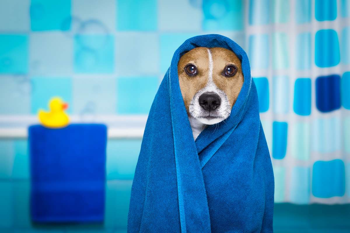 Jack Russel in a dog grooming bath