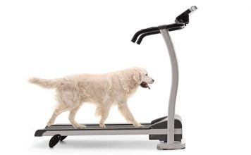 Labrador dog walking on a dog treadmill