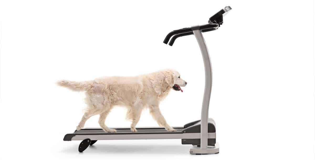 Labrador walking on a treadmill made for dogs